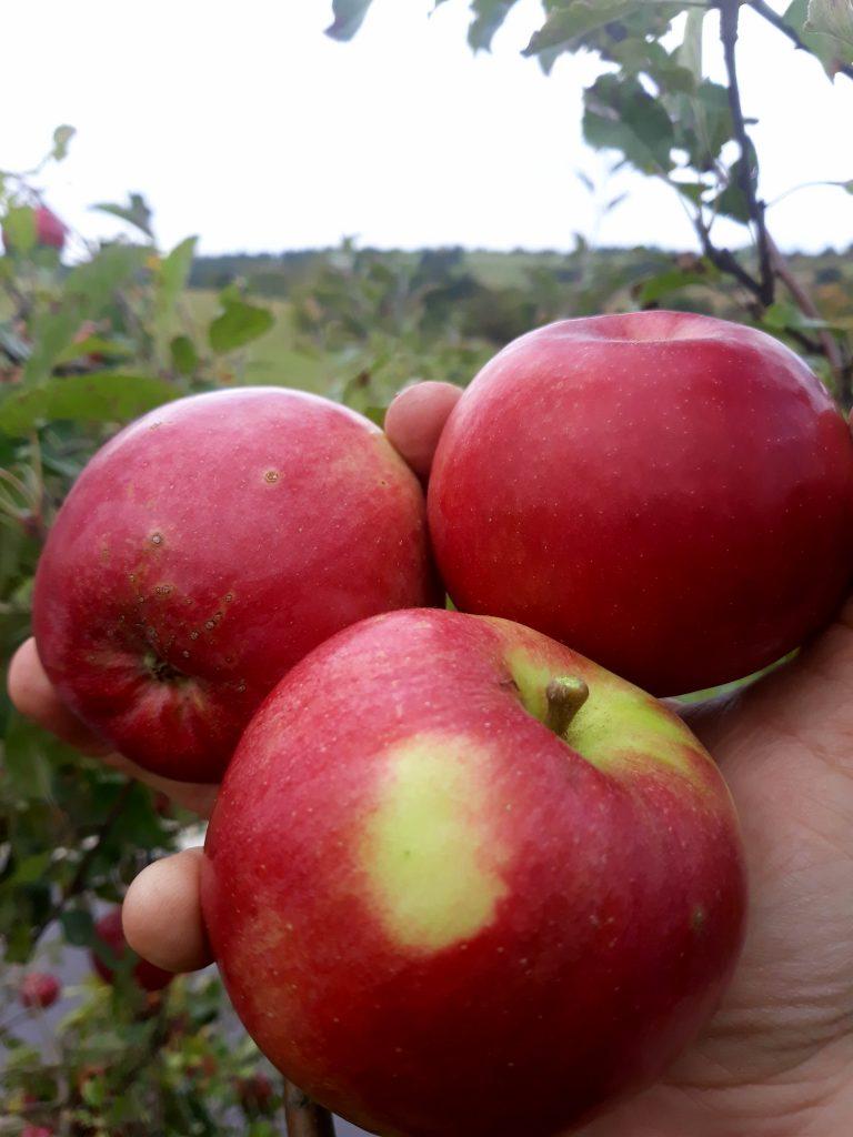 Jablká v hrsti