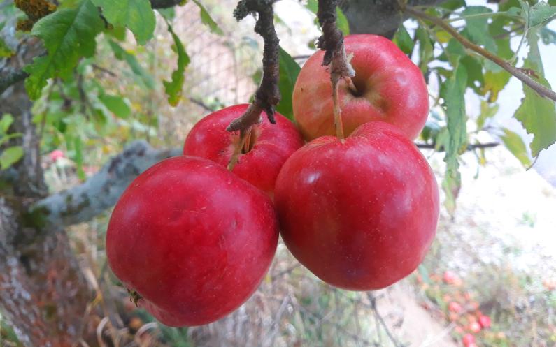 Šťavnaté jablká ako požehnania z nebies